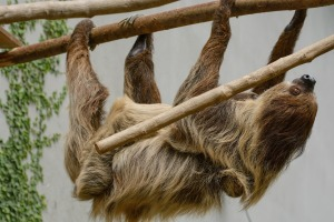 sloth-1502299_1920