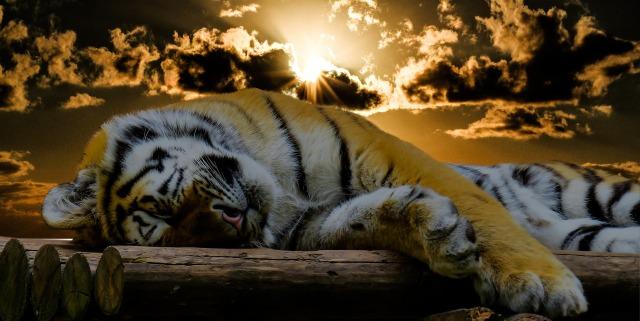 tiger-1673874_1920.jpg