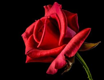 red-rose-320868_1920