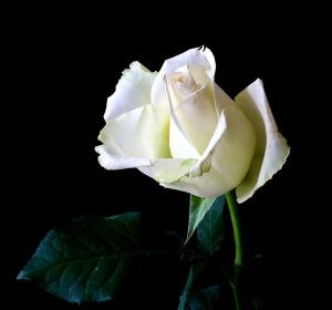 rose-342526_1920